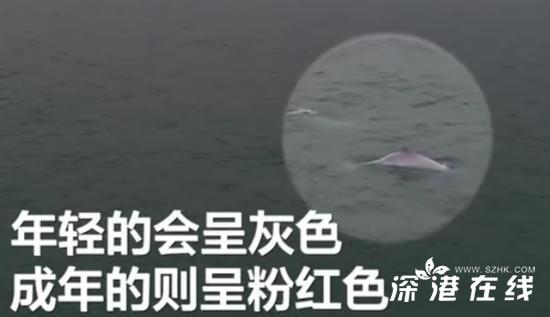 广东南澳岛现5只粉色海豚 这是什么情况?