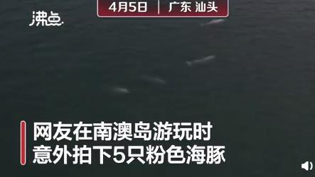广东南澳岛现5只粉色海豚 场面尤为罕见!!