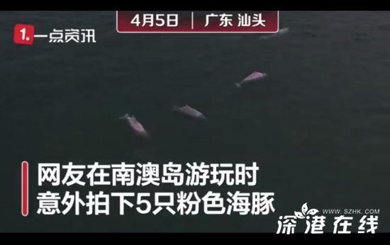 """广东南澳岛现5只粉色海豚 画面公开 其被评估为""""易危级"""""""