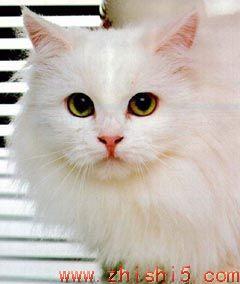 山东狮子猫外貌