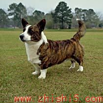 卡狄根威尔士柯基犬 Welsh Corgi (Cardigan)