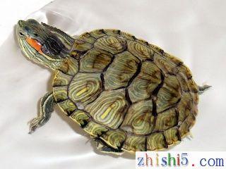 乌龟的年龄怎么看