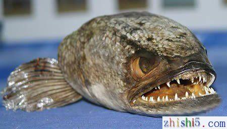 食肉的蛇头鱼照片 最大的蛇头鱼图片